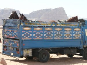 The horses are arriving in Wadi Rum