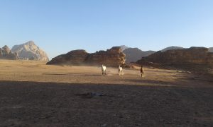 Wadi Rum, the horses have free time in the desert